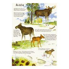 Älgen A4-kort