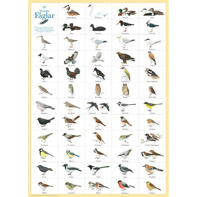 59 Svenska fåglar poster 50 x 70 cm